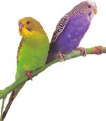 Попугай волнистый самец